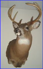 whitetail deer taxidermy by Michigan taxidermy studio Nature's Reflection Taxidermy