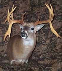 Whitetail deer taxidermy by Missouri taxidermist Bobbi Meyer