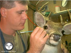 whitetail_taxidermy_restoration