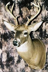 whitetail deer taxidermy by Virginia taxidermist Bill Clark