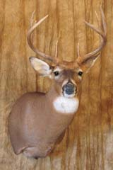 Whitetail deer taxidermy by Missouri taxidermist Cole Cruickshank