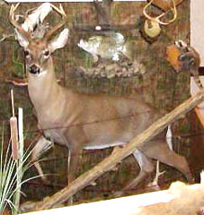lifesize whitetail taxidermy